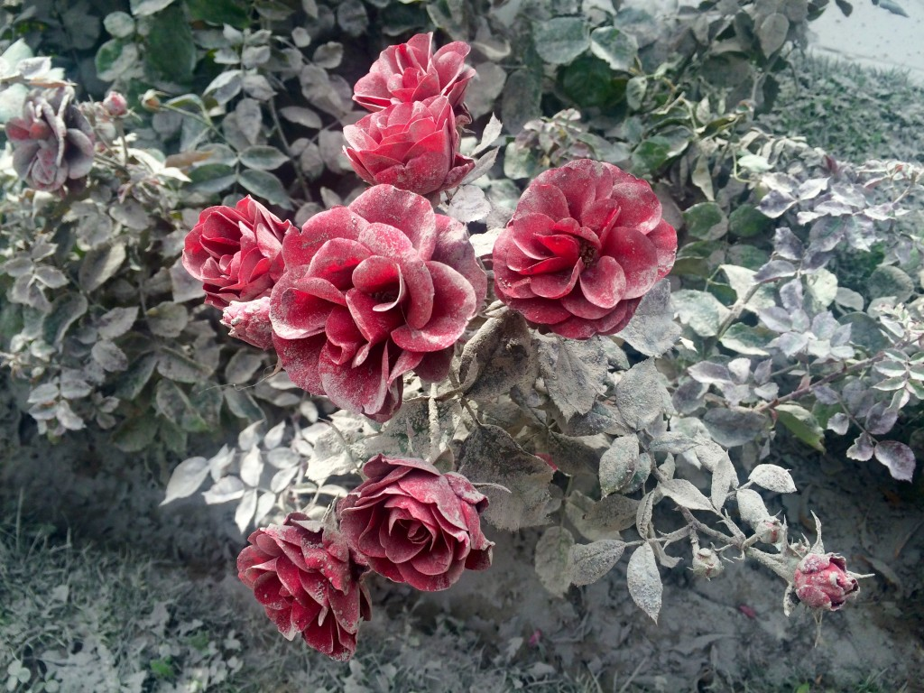 Roses dusted with volcanic ash